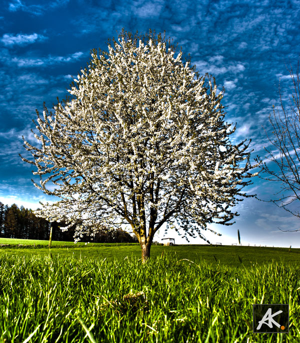 whiteflowered tree - spring HDR